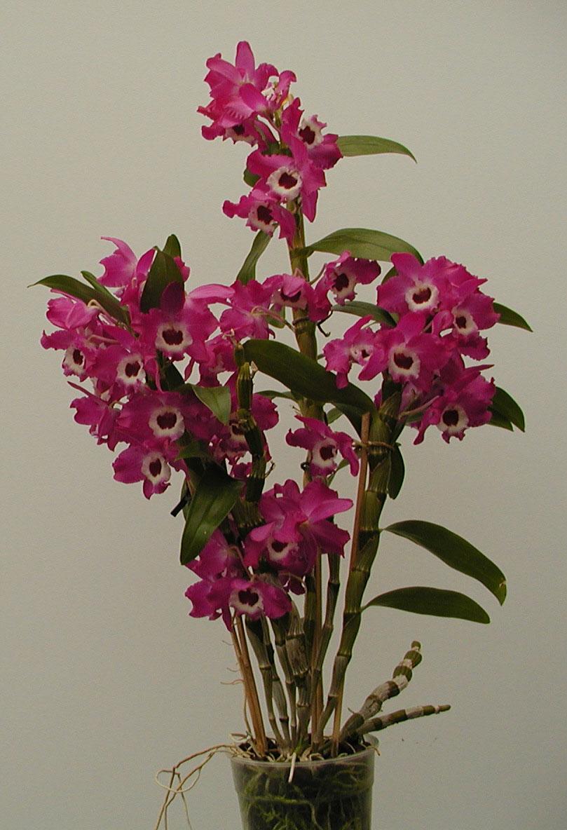 Виды и сорта орхидей с фото и названиями для сумок