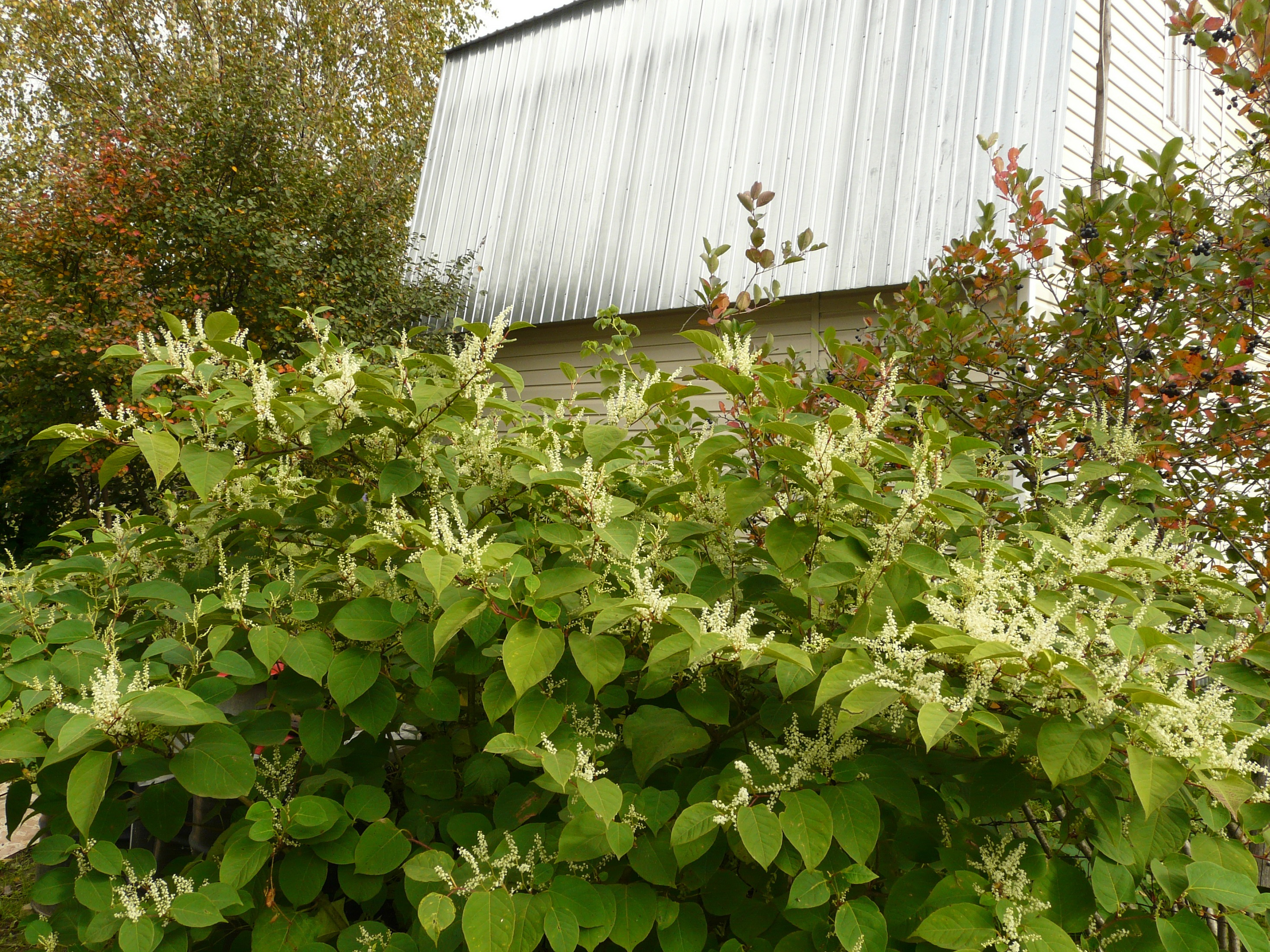 время горец сахалинский или гречиха сахалинская фото щучья икра мелкая