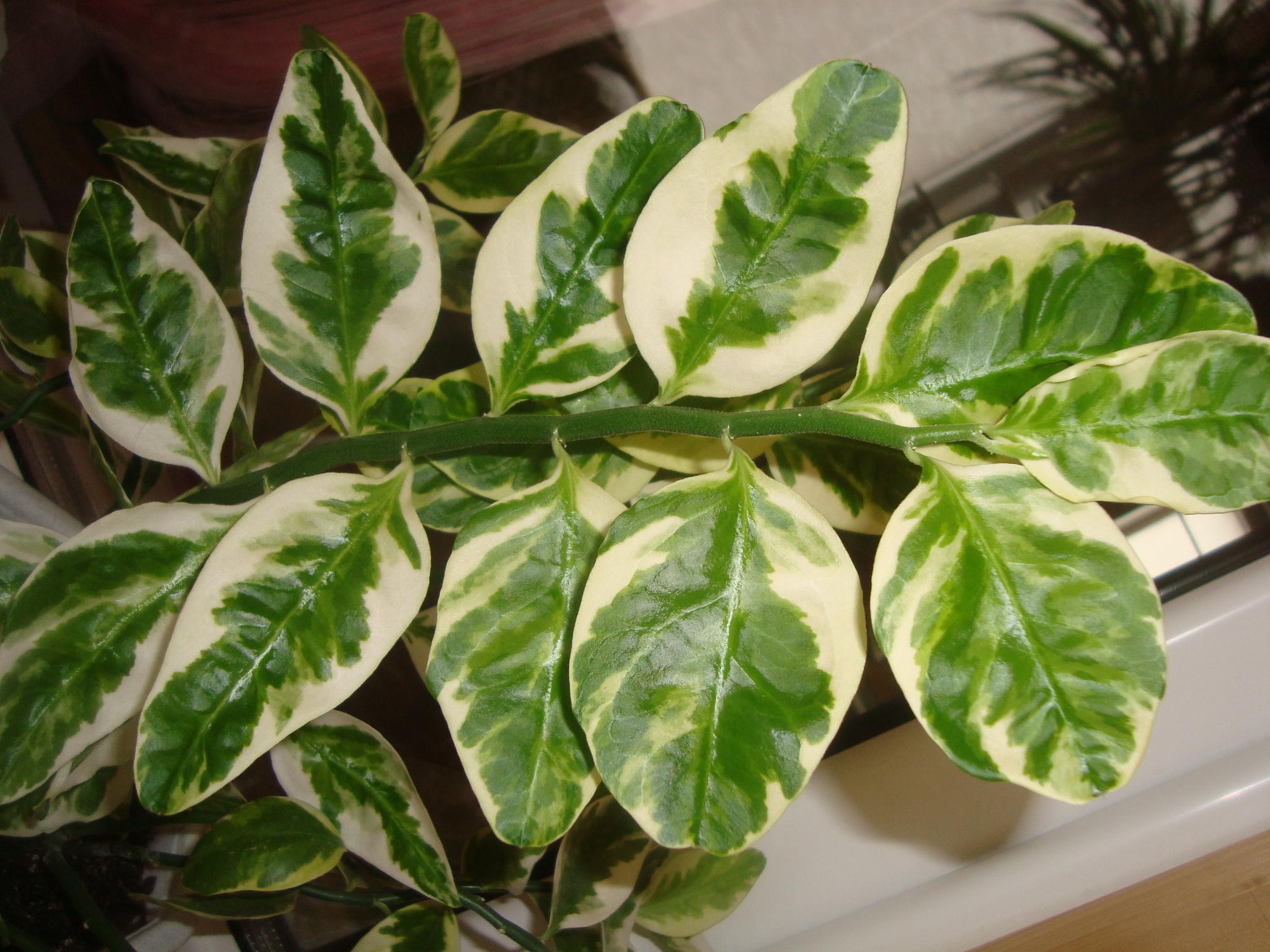 Пестрые листья комнатные растения фото