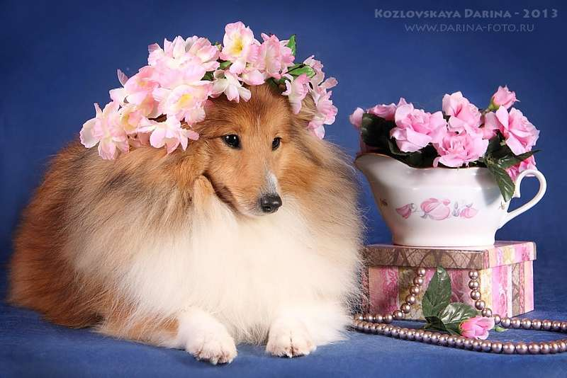 Мини, шелти с днем рождения открытки
