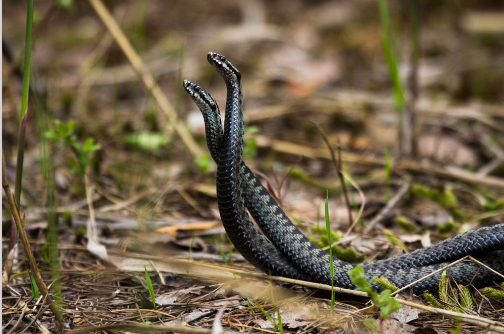 нам обзор брачный период змей картинки будет