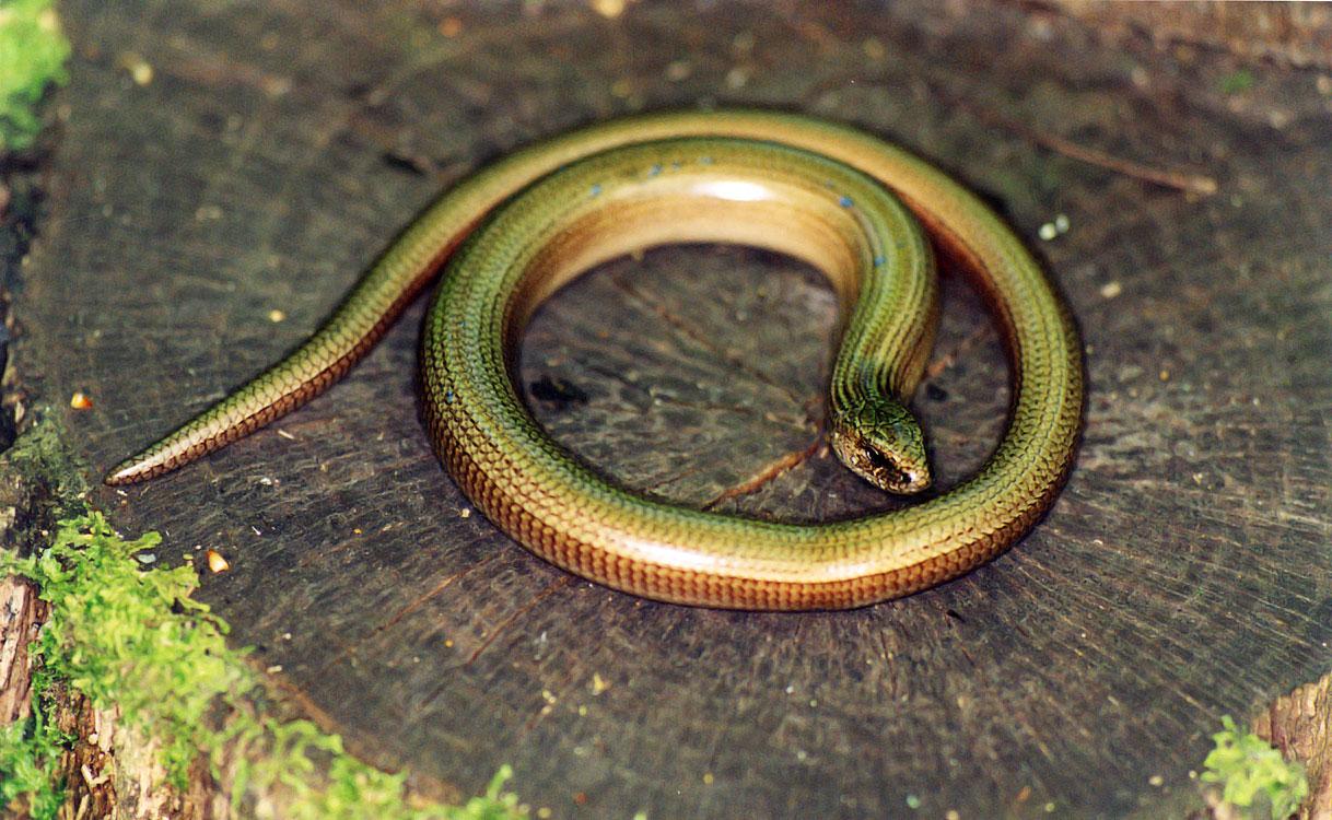 зеленые змеи подмосковья фото и описание такой