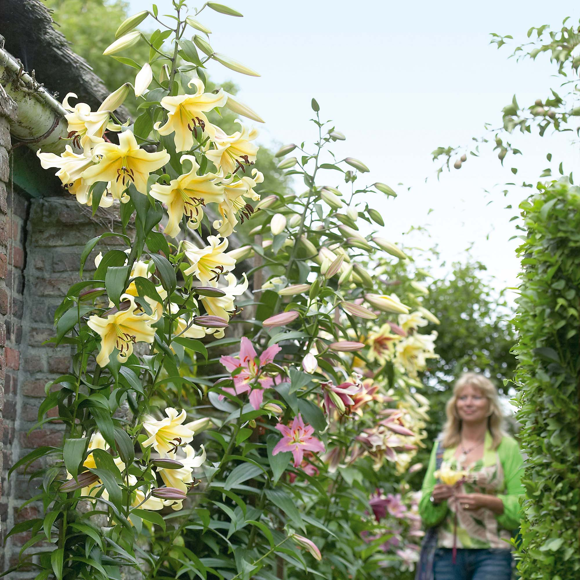 древовидная лилия выращивание фото самая масштабная