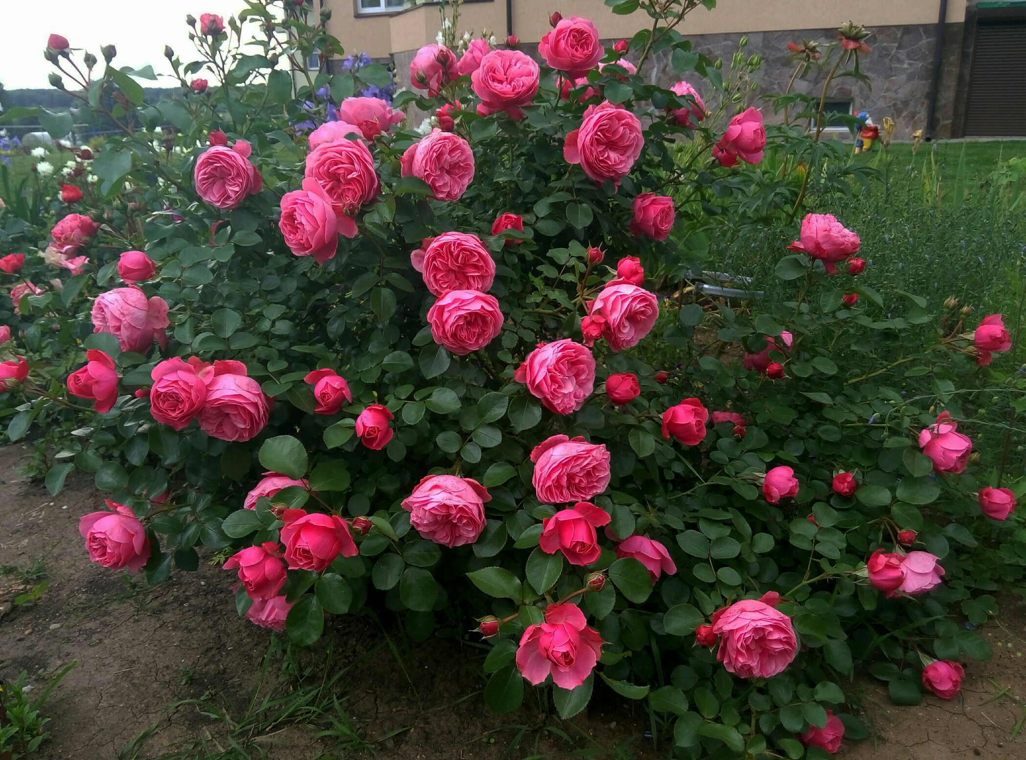 признанию артистки, роза леонардо да винчи фото описание увеличения или уменьшения