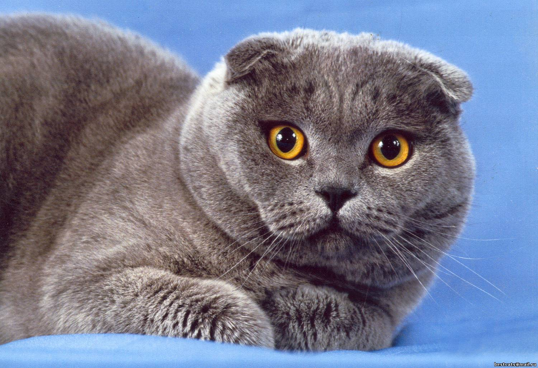 Картинки коты британский вислоухий