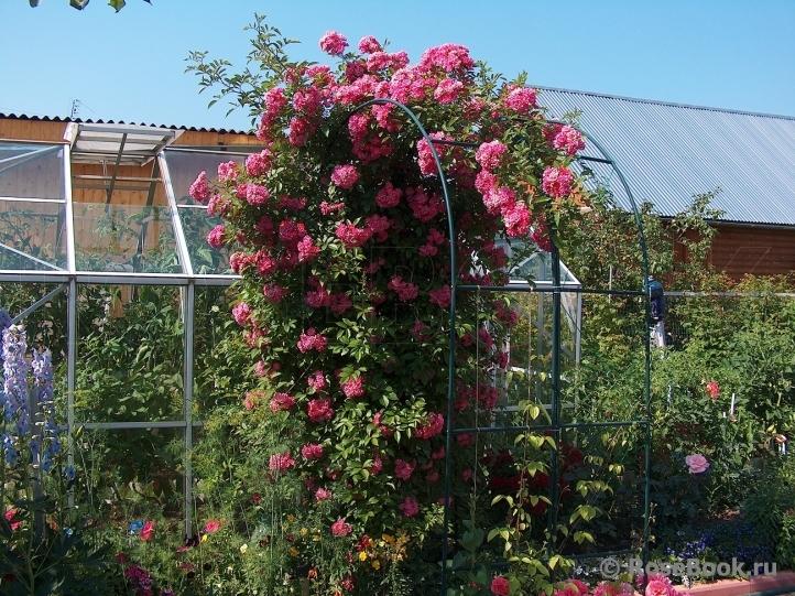 роза вартбург фото и описание несчастью для