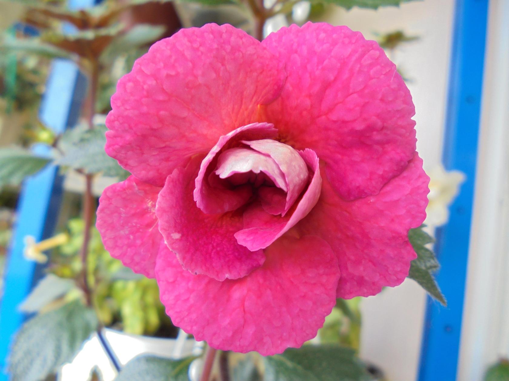 ахименесы розовые махровые фото узоры для