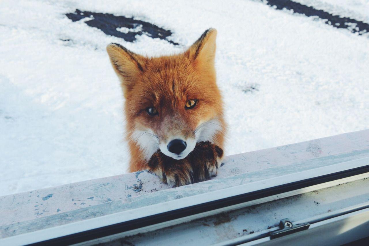 лисичка ждет картинки этой