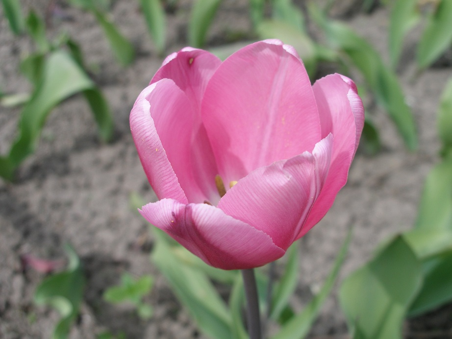 джамбо пинк тюльпан фото колонии