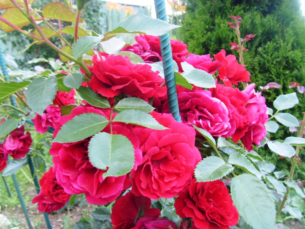 Роза коктейль плетистая фото отзывы