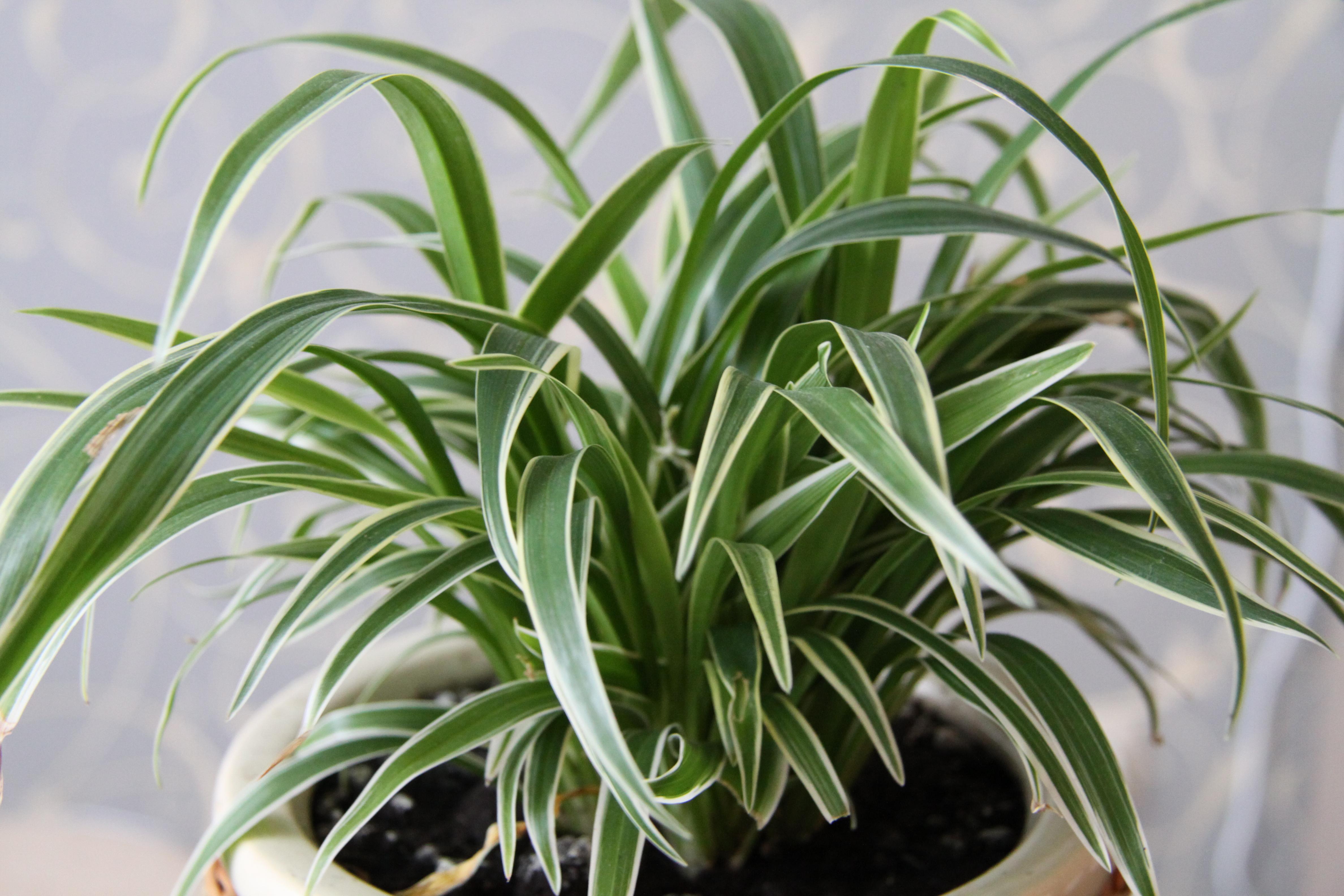 Хлорофитум лаксум: фото, уход в домашних условиях