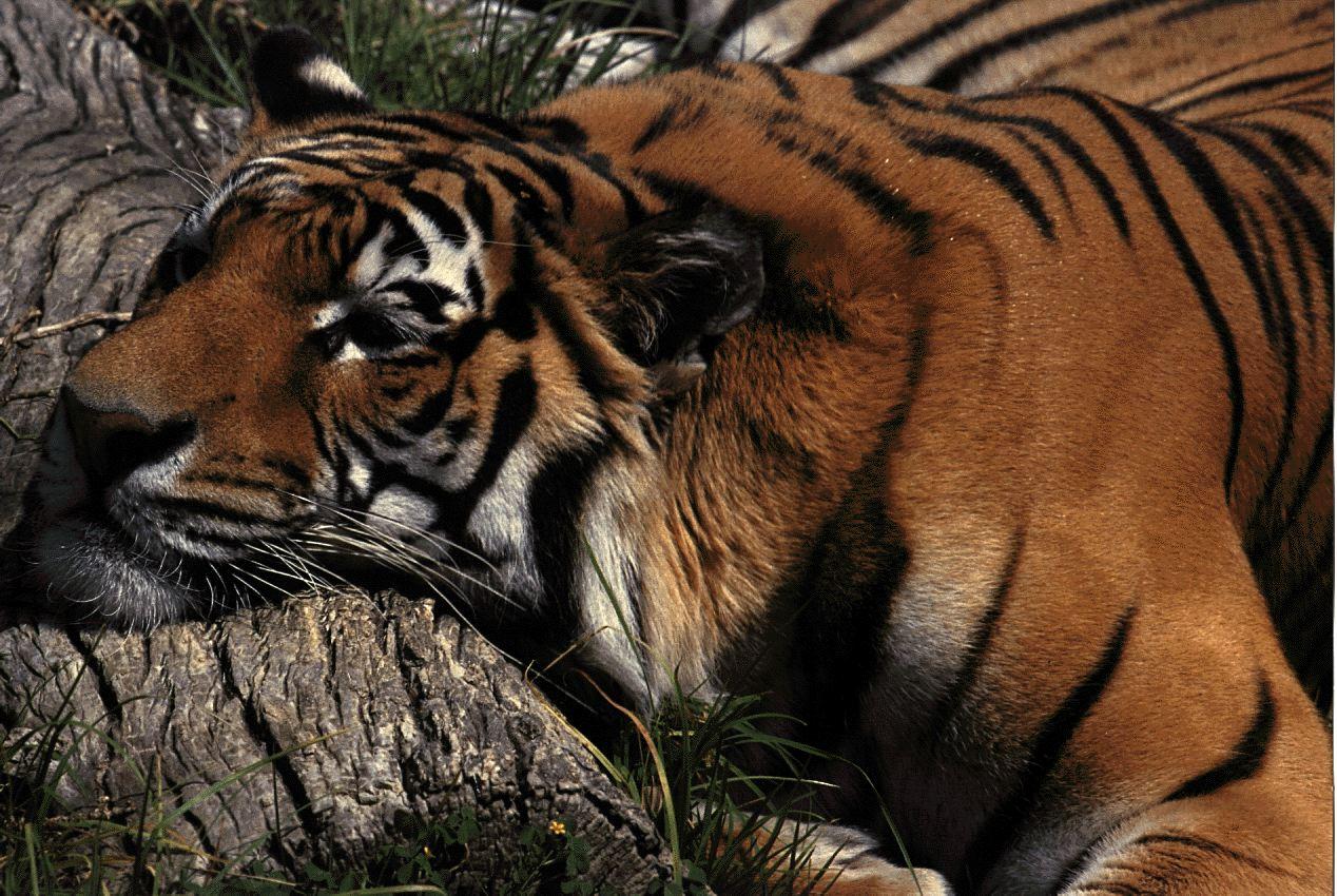 шиншиллы обиженный тигр фото этого здесь сможете