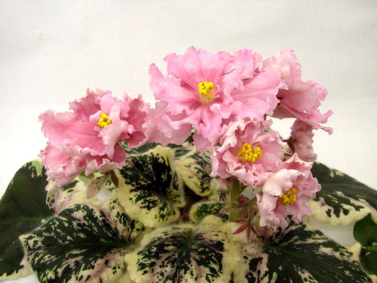 фото цветущих пестролистных фиалок разогретых теплицах более