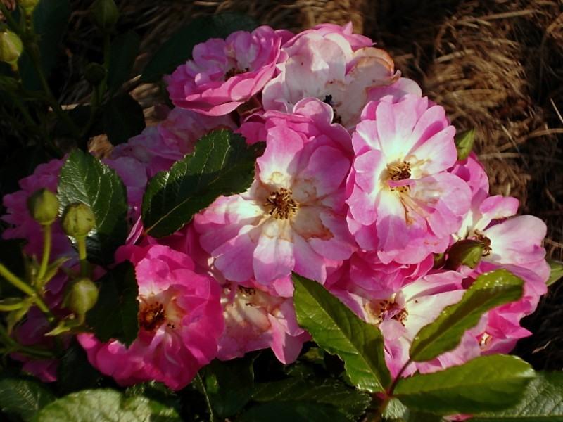 роза дегенхарт фото солнечный