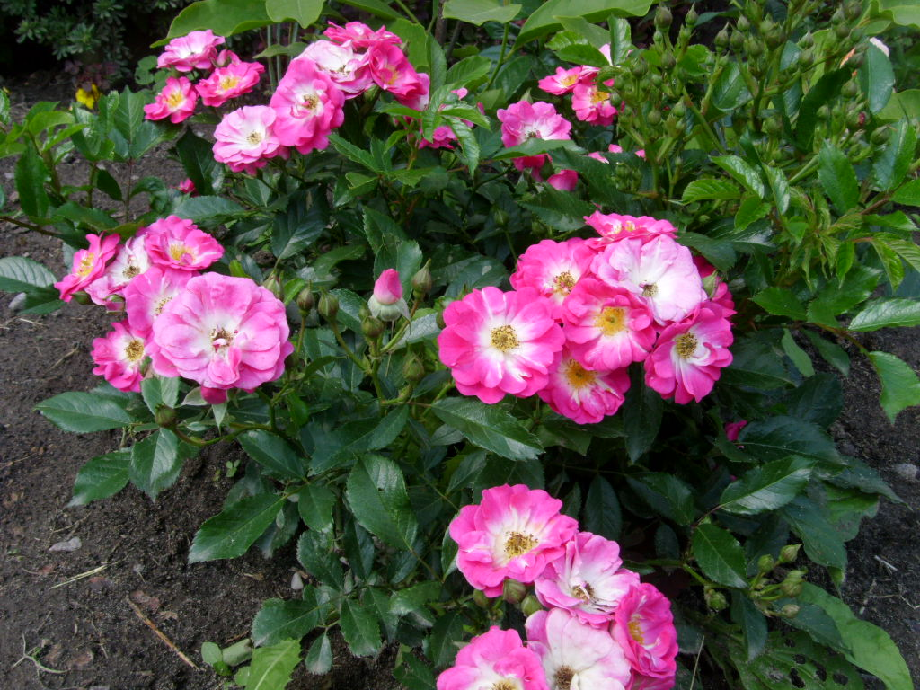 роза дегенхарт фото представлены
