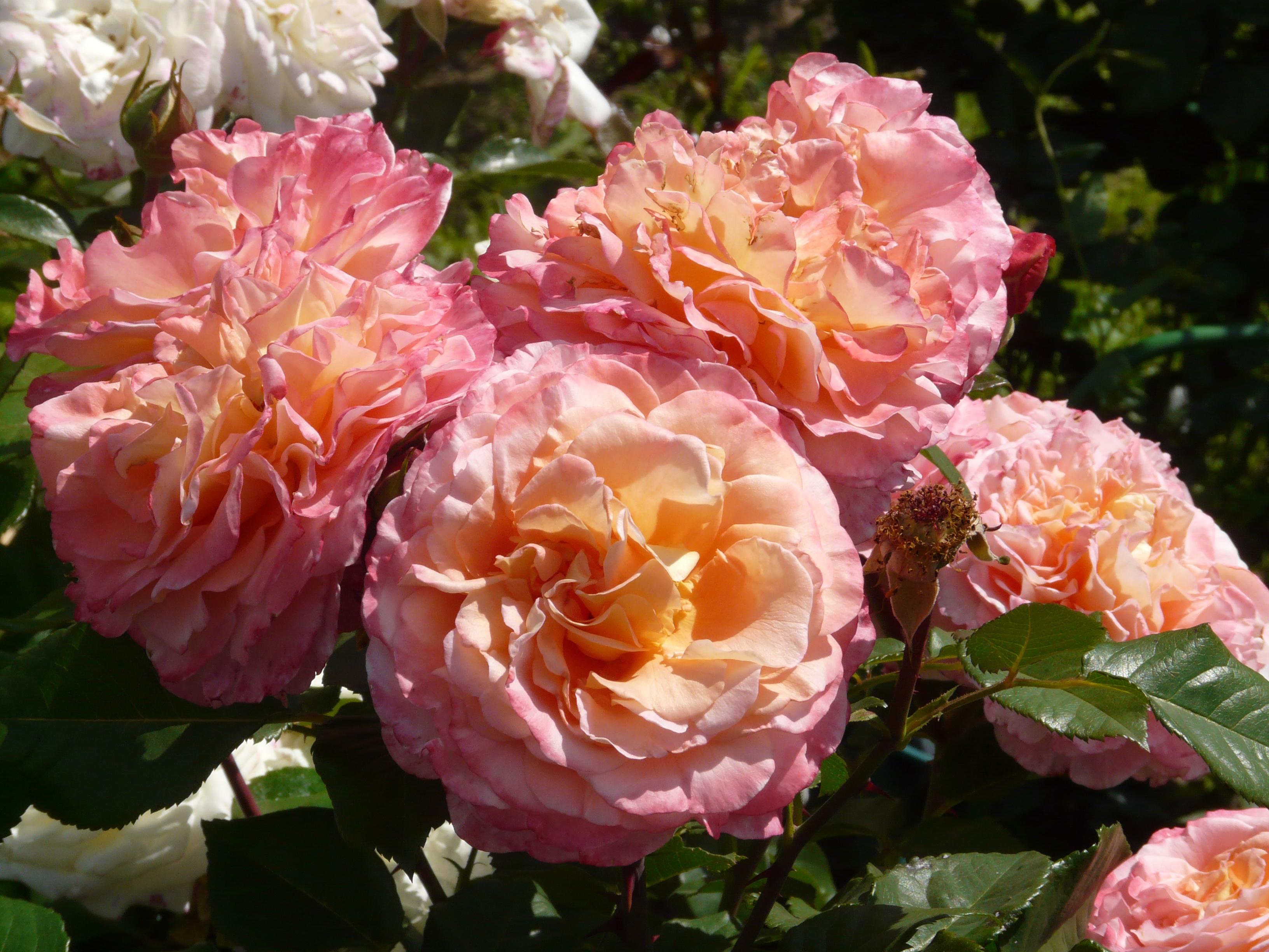 остаются стороне роза августа луиза фото и описание отзывы упустите возможность повеселить