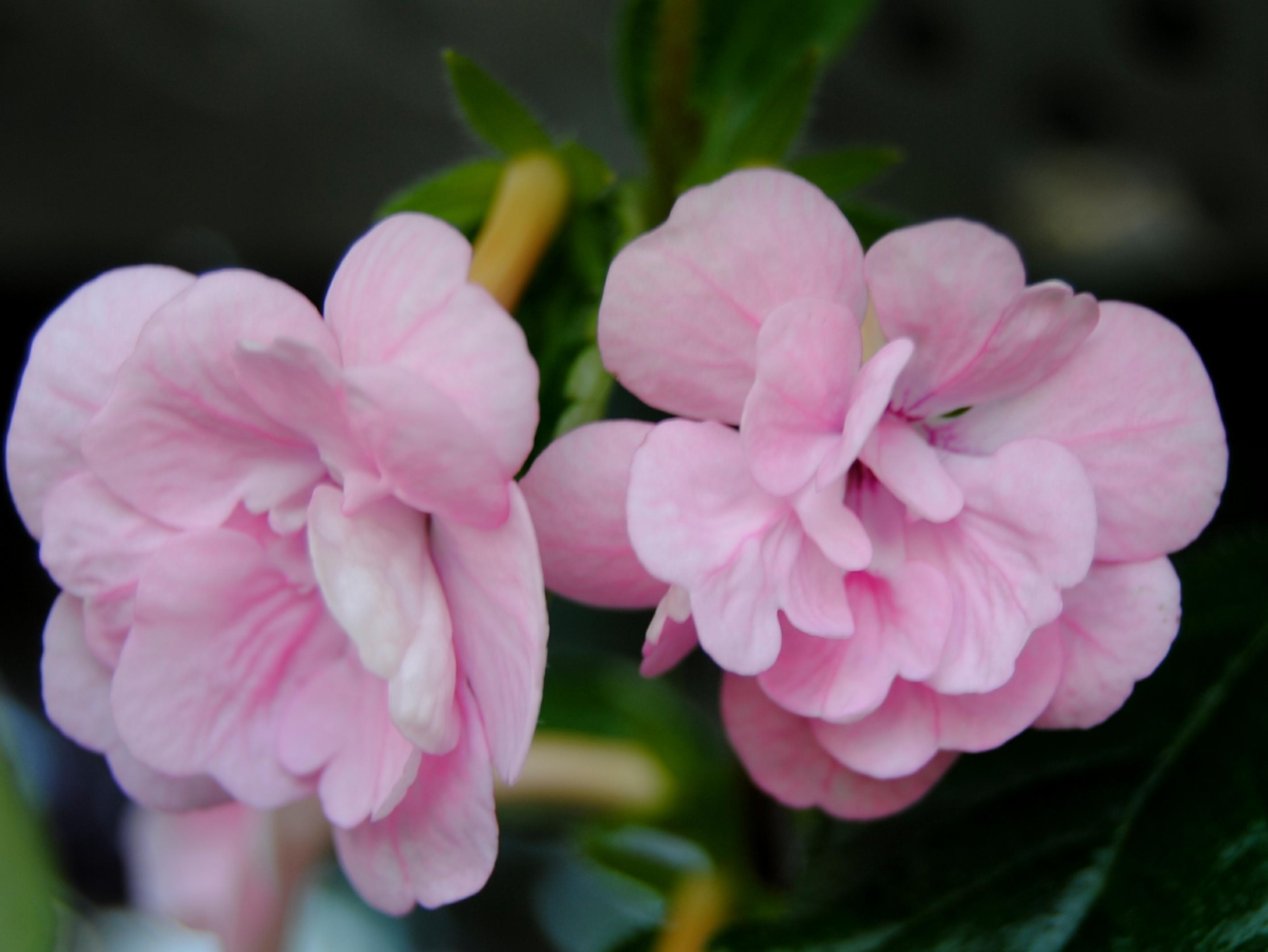 ахименесы розовые махровые фото частный