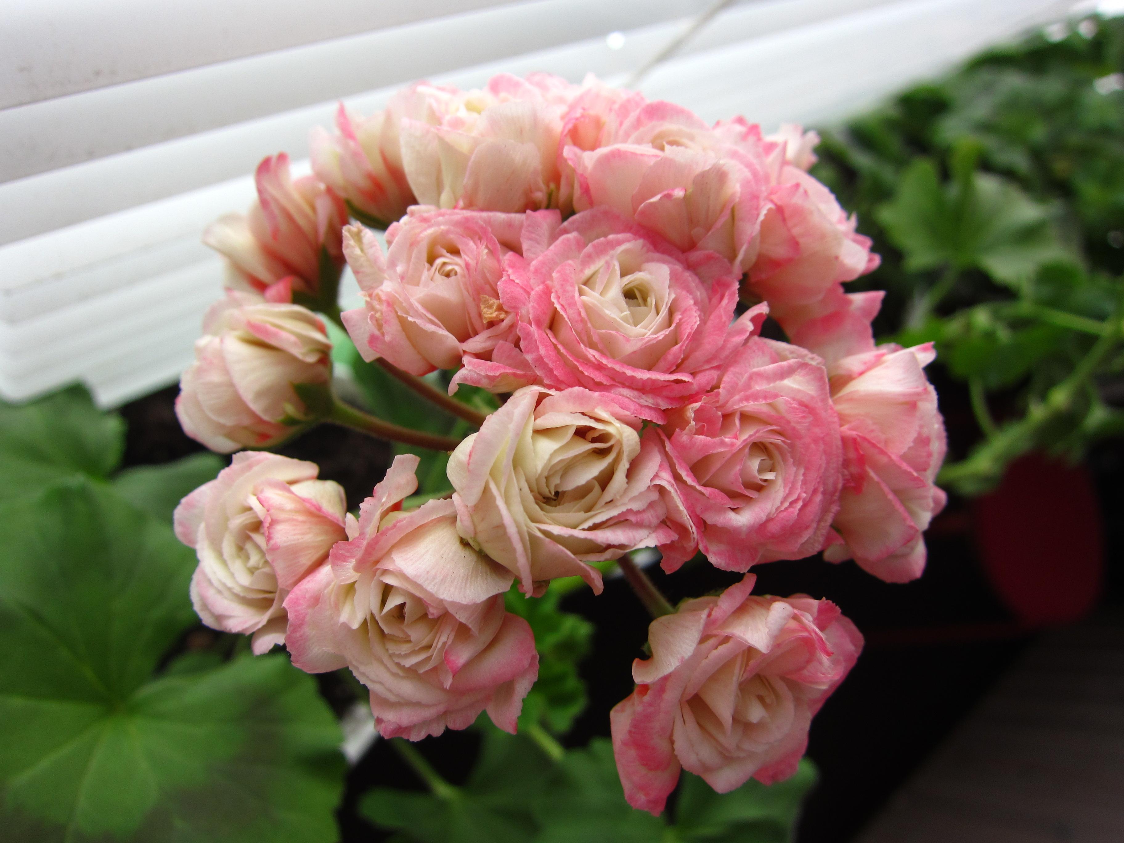 пеларгония розебудная фото фото