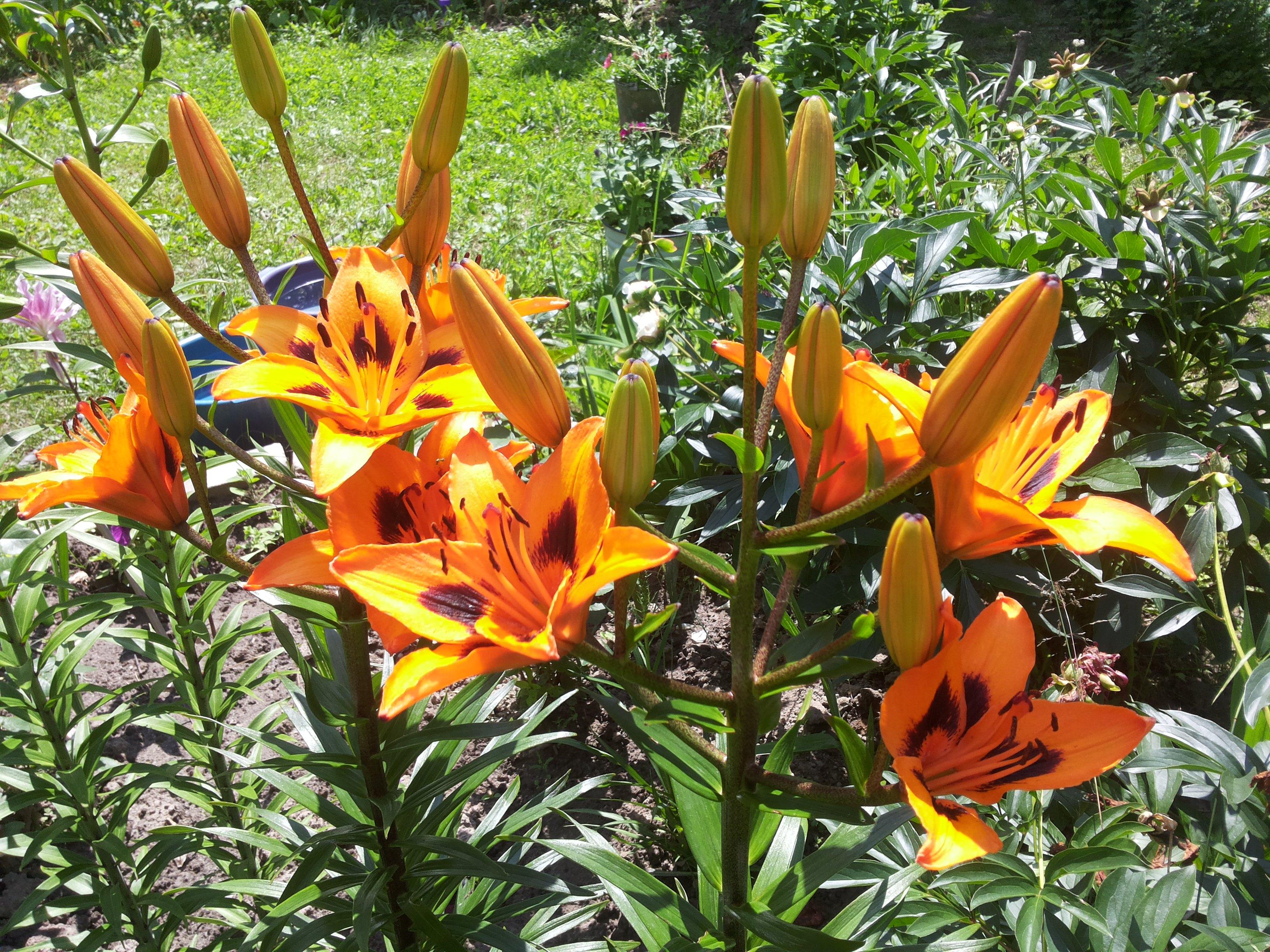 неоднозначные кустовая лилия оранжевая королевская фото опубликовать
