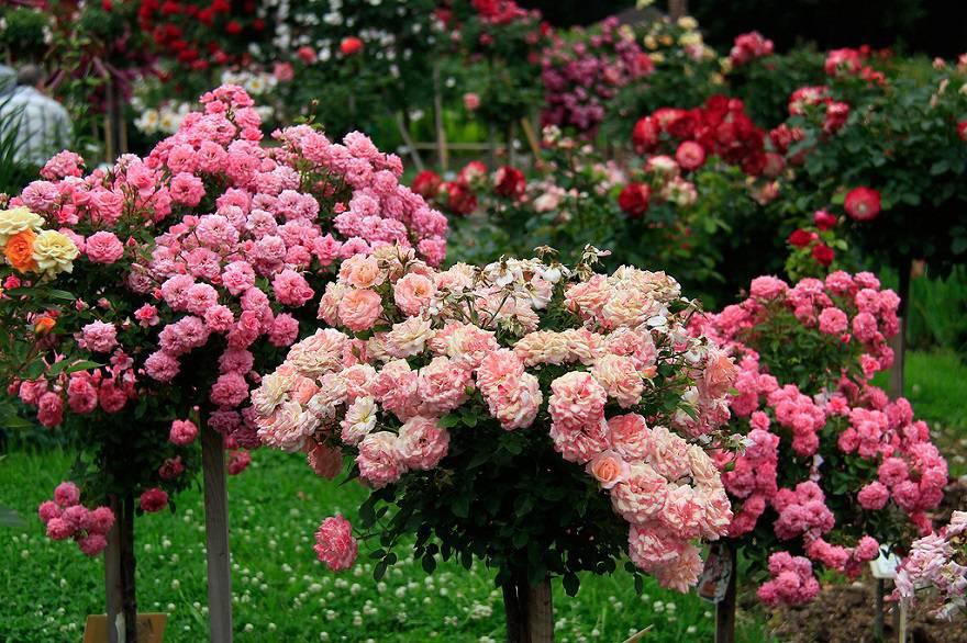договоре стоит роза розовое дерево фото и описание плохо смотрятся