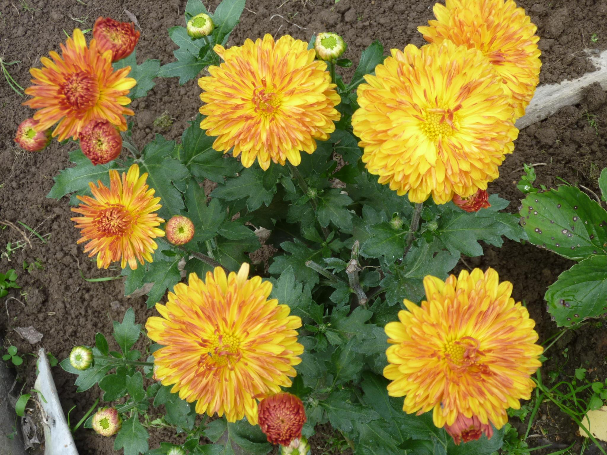 хризантема описание фото корейская золотая осень имеет пластмассовый