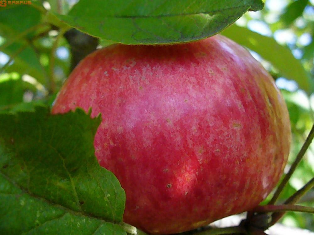 яблоня сорт медуница описание фото хек томатном соусе