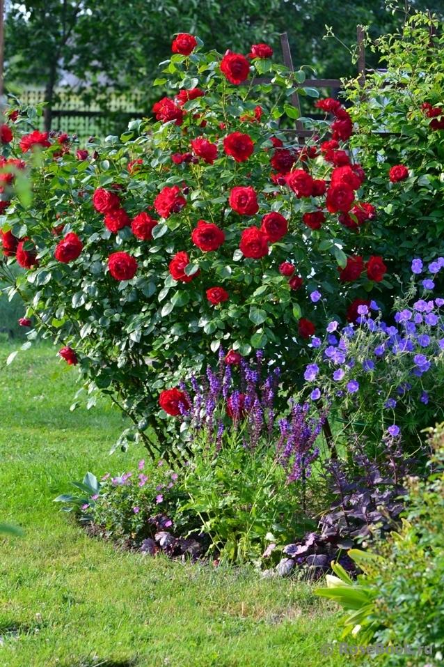 сантана роза фото
