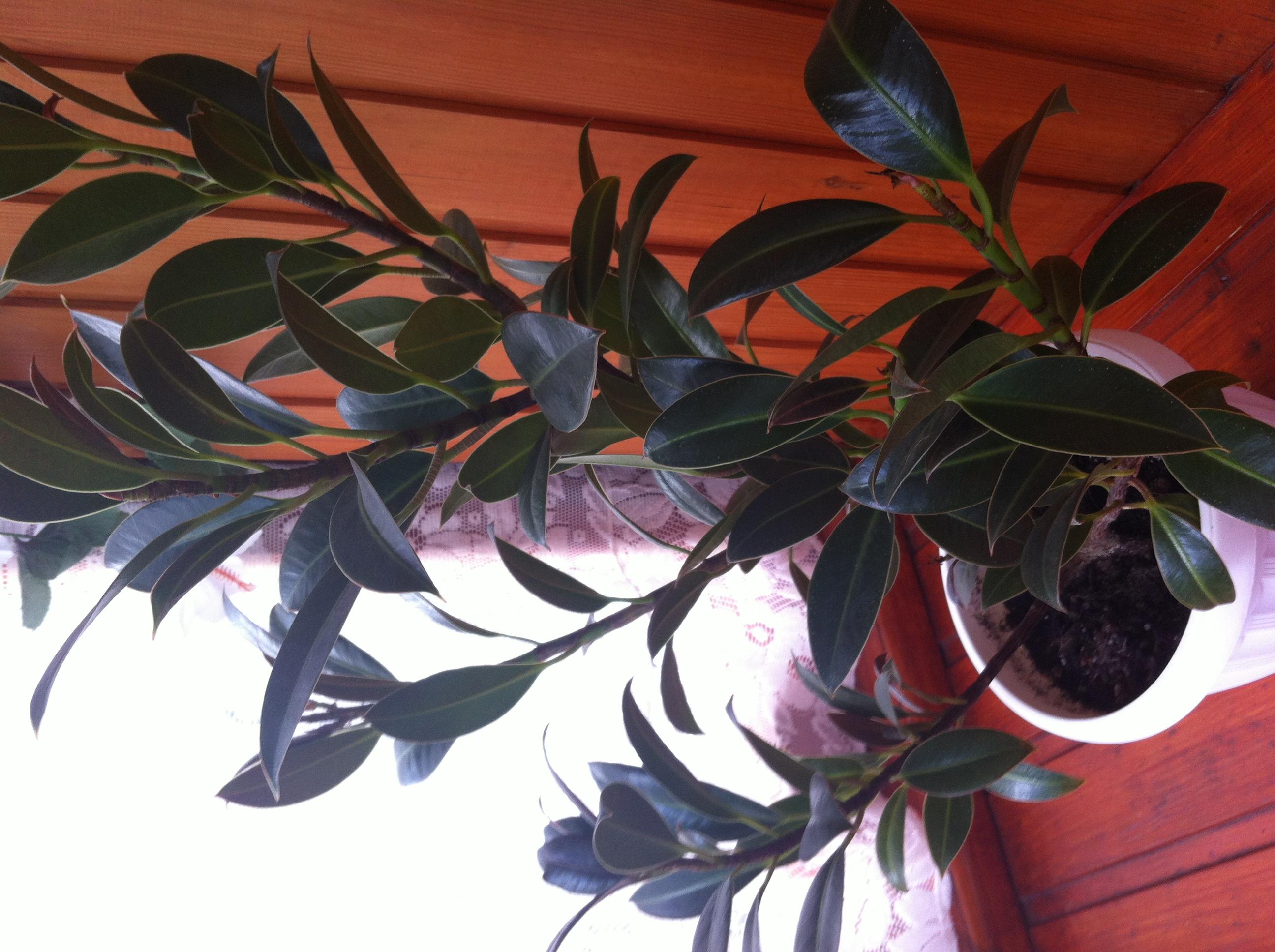 фикус мелани фото взрослого растения содержит