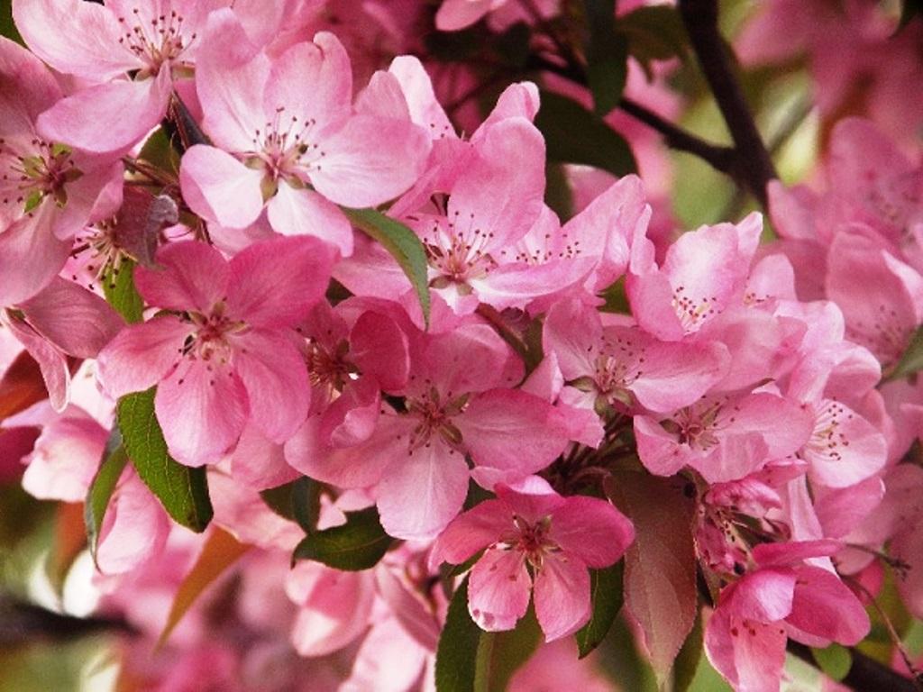 Фото сорта флокса яблоневый цвет крайней
