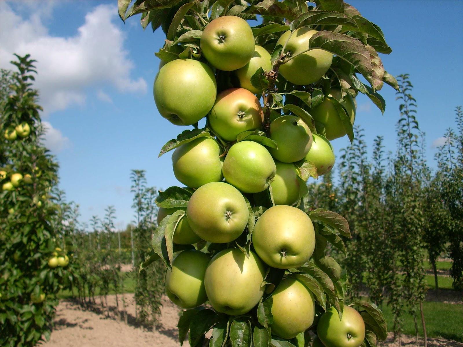 низкорослые плодовые деревья для сада фото и названия дома всегда