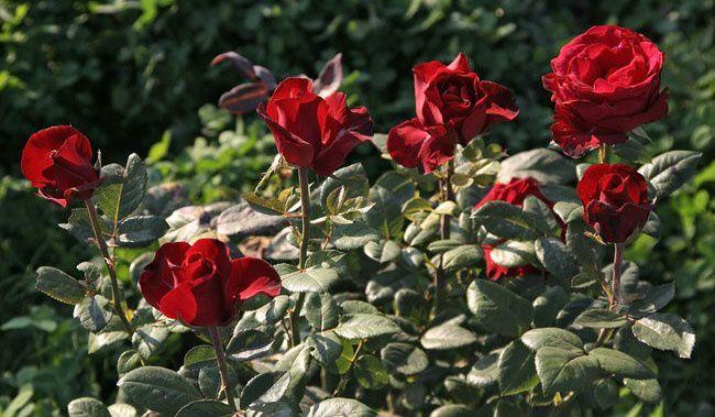 Роза гранд гала фото и описание отзывы