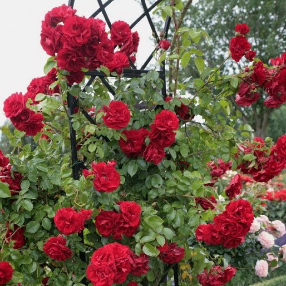 Цветов, цветы роза плетистая купить украина