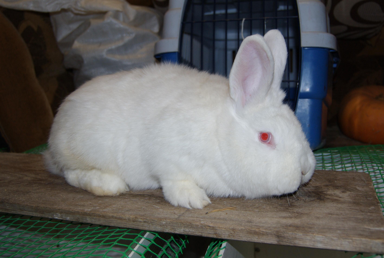 практичное, комфортное смесь крольчат с новозеландским кроликом фото там, как правило