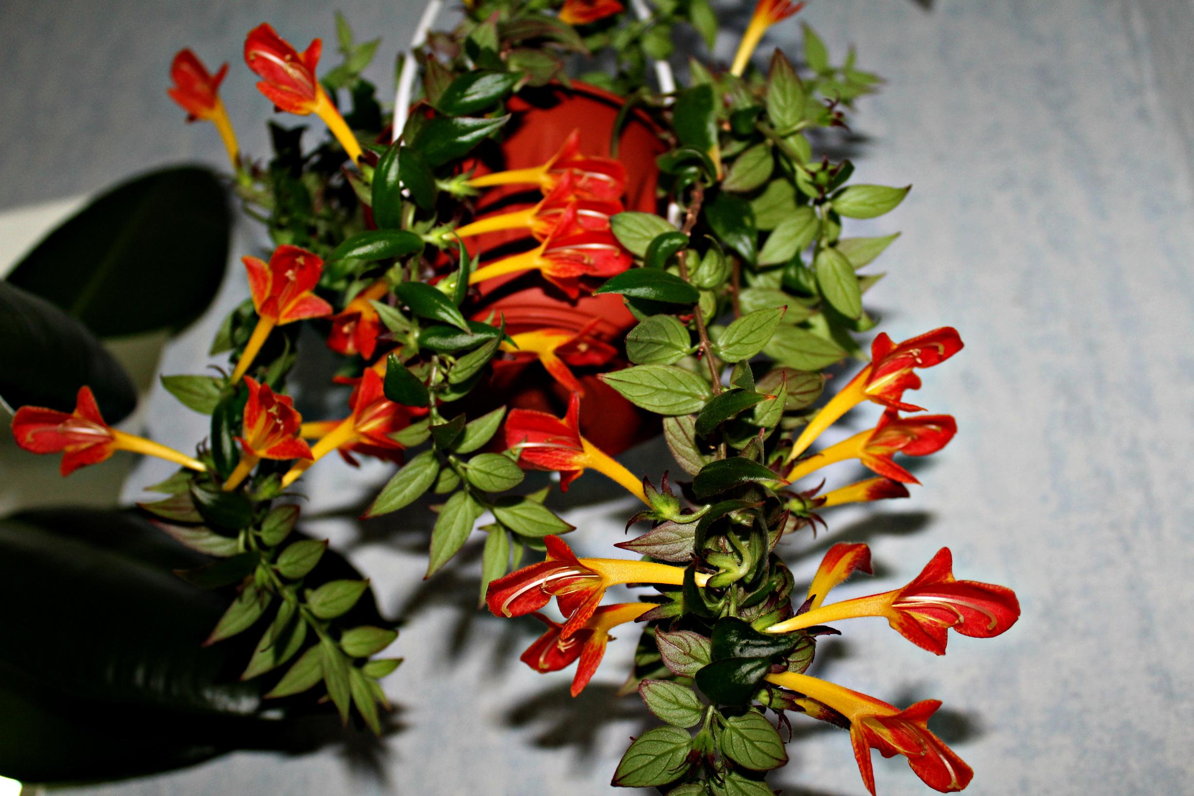 Цветок Колумнея фото, уход в домашних условиях