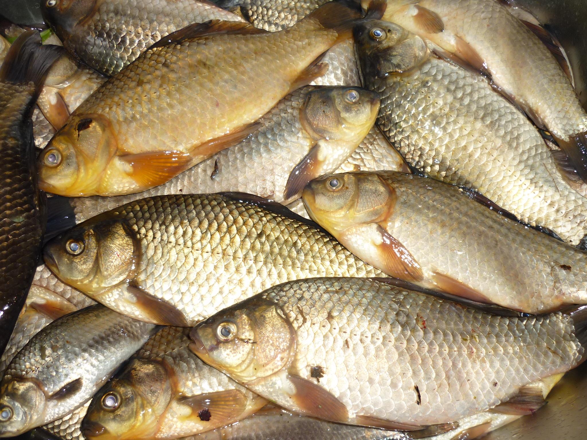 рыбы плавают смотреть картинки рыбы карась под сильное влияние