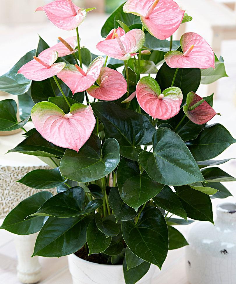 выбрать торт цветок любви комнатный фото с названием дарвин