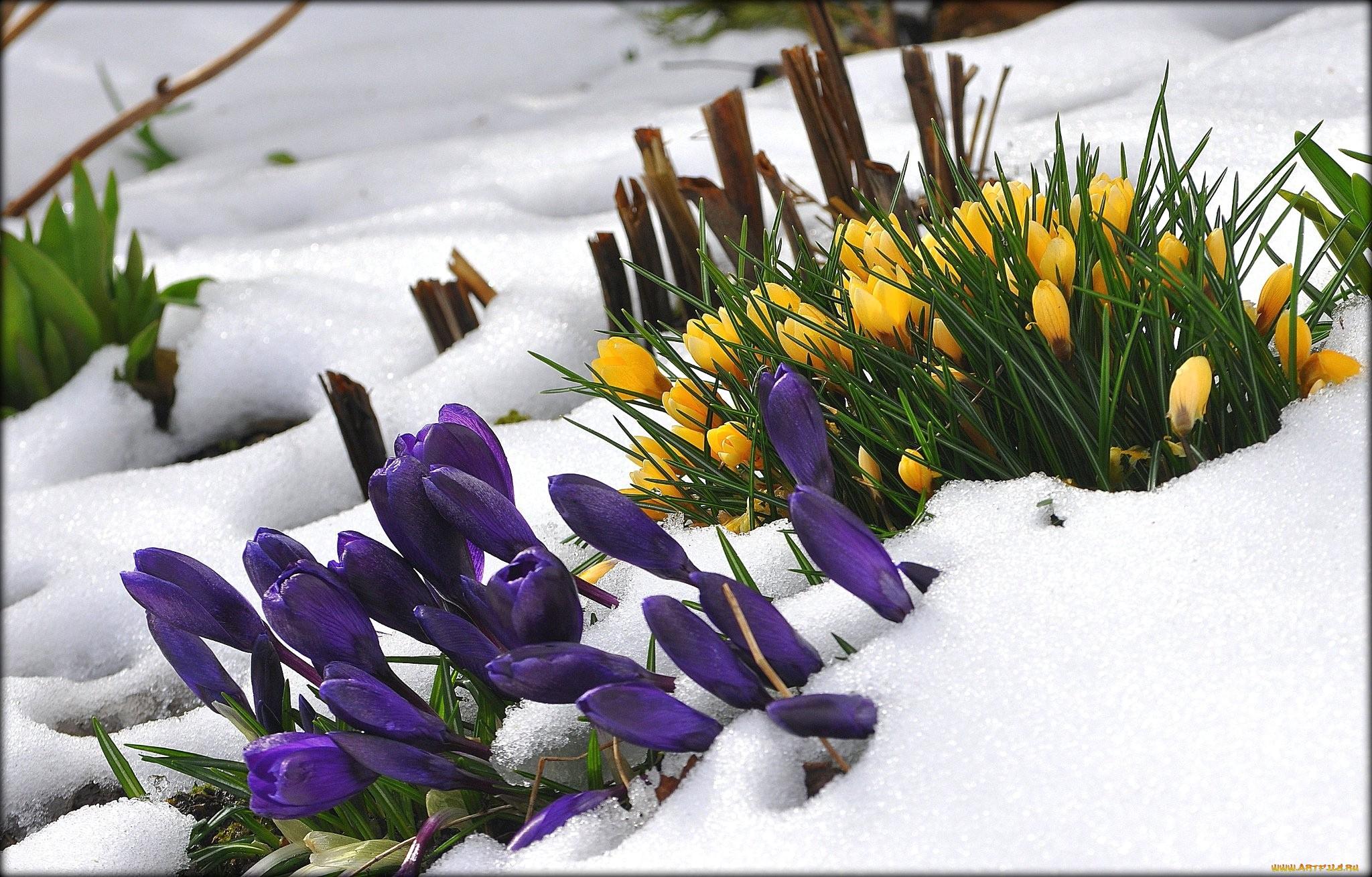 данных картинки весна ранняя крокусы теряют самообладание