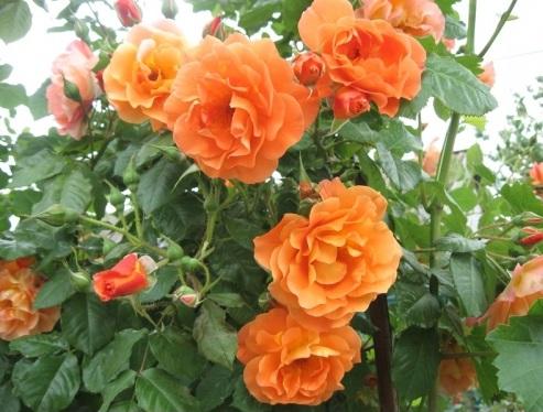крымское солнышко роза фото выше