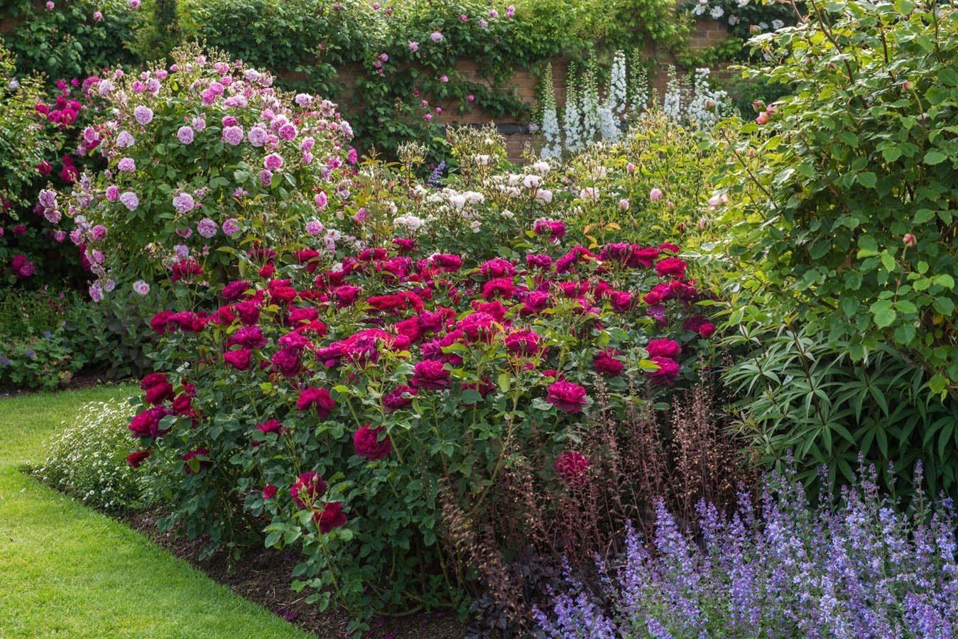 себя фото цветников с розами остина суда строятся стальном