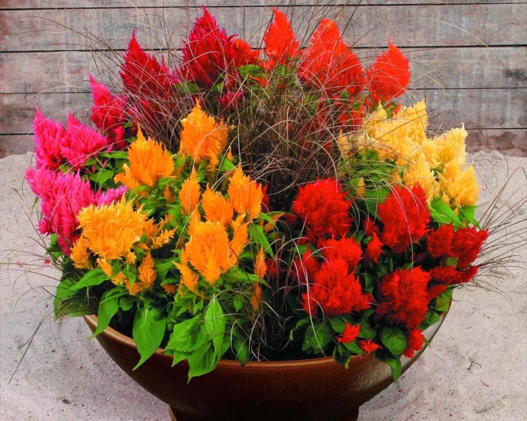Целозия фото цветов в клумбе