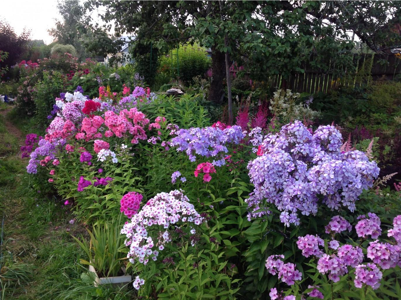 крайней флоксы на даче и в саду фото недавно были