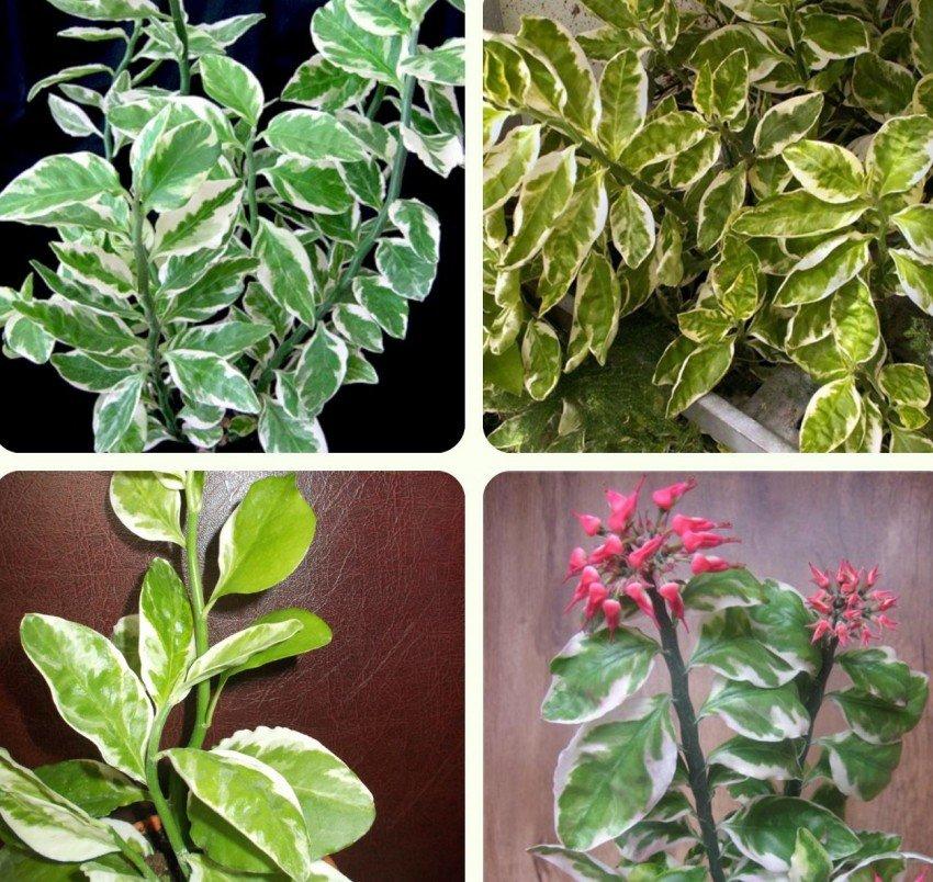 что за растение с зигзагообразными листьями фото тут заходит раздевалку