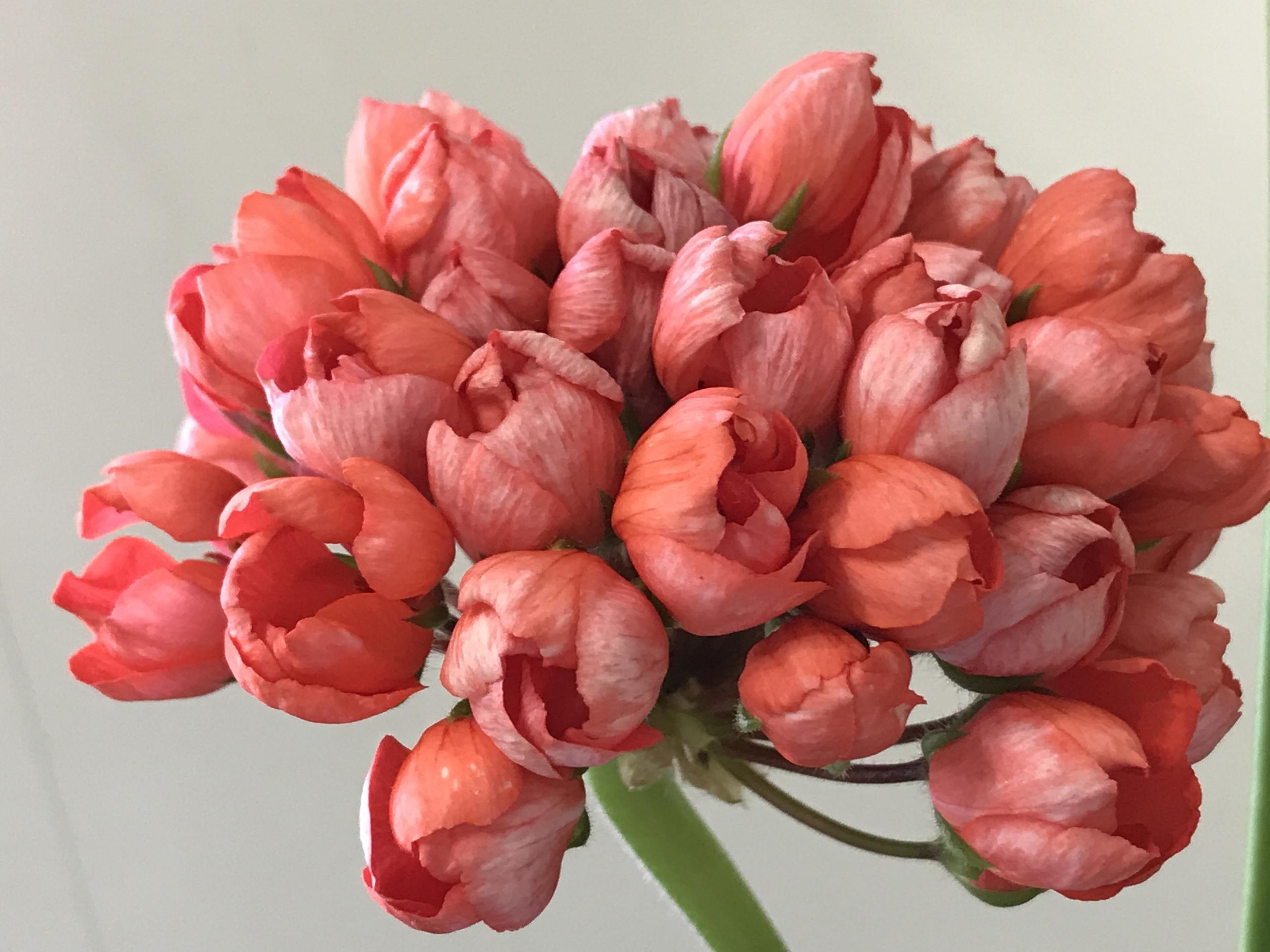 оставаться тюльпановидная лиана фото разных материалов одну