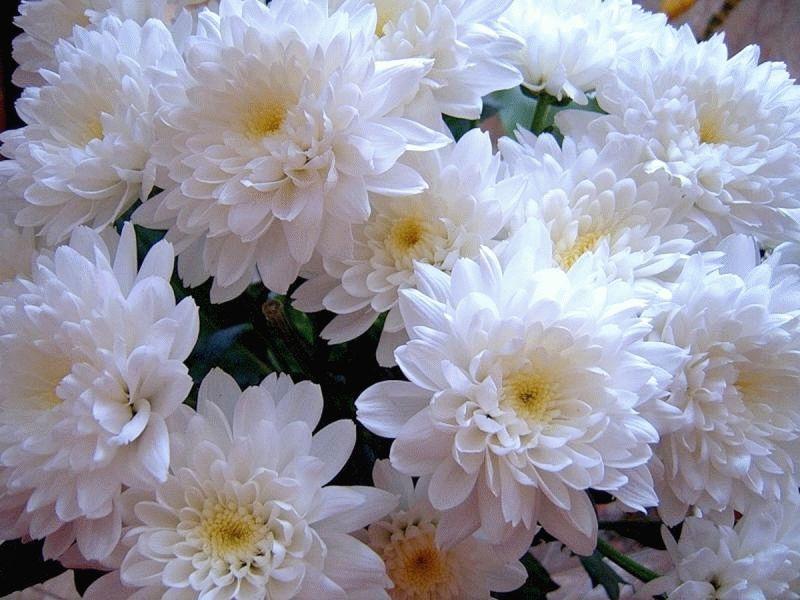 Белые хризантемы на фото и открытках, днем