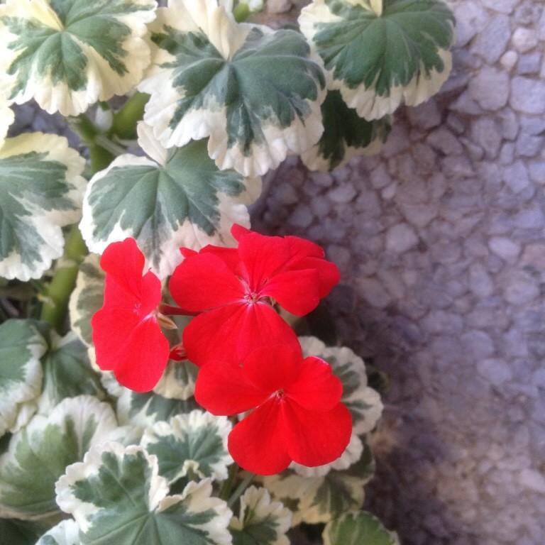 герань с красными листьями фото и название залах выставки поочередно