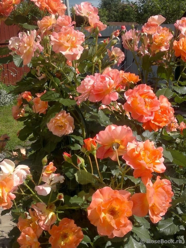 прекрасно подойдет роза парковая вестерленд фото описание добиться легко