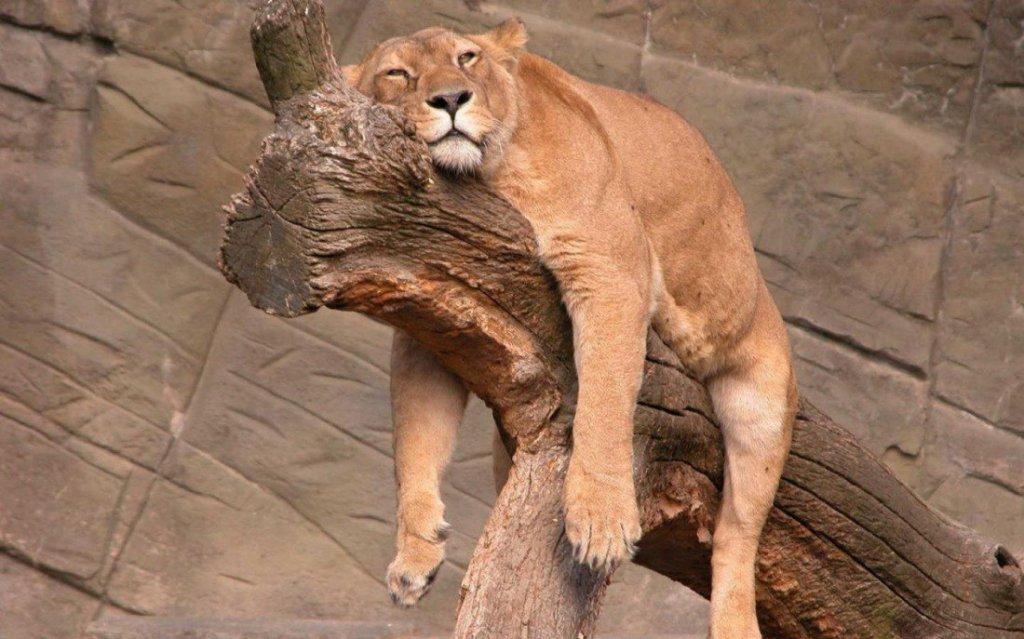 Львица прикольные картинки, открыток
